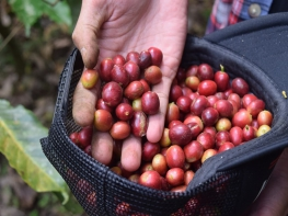 Sokan furcsálhatják, hogy a fenti felsorolásból miért maradt ki a híres cibetmacska kávé, másnéven a Kopi Luwak.